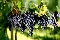 Panizzon Reserva Merlot 2012: Vinho bom e barato! Dica que cabe no bolso! | Vinhos de Hoje