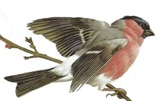 Free Bird Images and beautiful paintings for framing