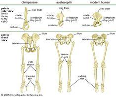 bipedal hip evolution - Google Search