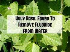 Tulsi Plant (Holy Basil) Found to Remove Fluoride from Water & Support Pineal Gland Health  Read more: http://naturalsociety.com/tulsi-plant-holy-basil-remove-flouride-water-support-pineal-gland-health/#ixzz2SEPhTNqi