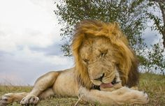 © Will Burrard-Lucas - lovely close up of a male lion in the Maasai Mara thanks to Will's beetle cam.