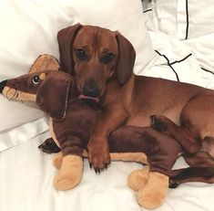 Cuddling with his little stuffed doxie! #dachshund  Where do you get them (both)