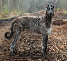 Finn, the scottish deer hound