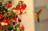Learn how to plant a container garden to attract hummingbirds to your backyard.