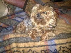 MISSY MY WONDERFUL COMPANION  -  NOTHING LIKE YORKIES FOR INTELLIGENCE AN D DEVOTION