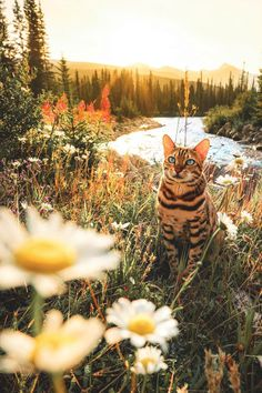 Cat Care Keeping Your Cat Healthy - Cat's Nine Lives Pretty Cats, Beautiful Cats, Cute Cats, Funny Cats, Toyger Cat, Sphynx Cat, Animals And Pets, Cute Animals, Adventure Cat