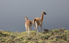 Guanaco Austral Chile, Giraffe, Explore, Animals, Landscape Photos, Animales, Felt Giraffe, Animaux, Chili