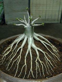 Адениум осьминог - Форумы