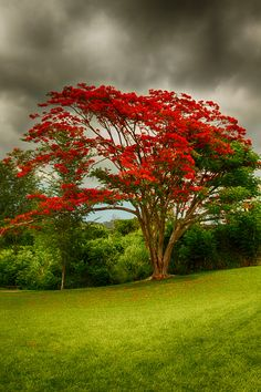 Striking flowering Royal Poinciana or Flamboyant tree, widely regarded as one of the most beautiful tropical trees in the world!