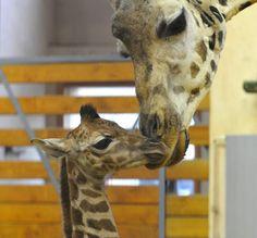 #giraffes