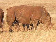 Rhino - Rhino & Lion Park, Gauteng, South Africa