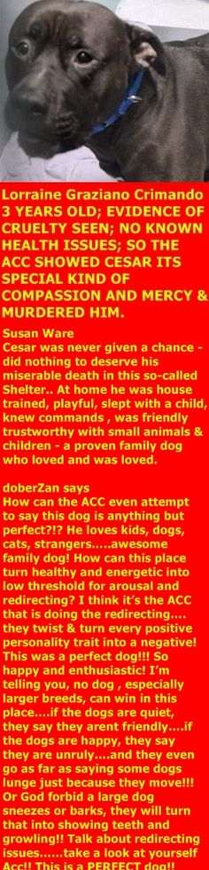 MURDERED 01/27/2018 --- Hello, my name is Cesar . My animal id is #19019. I am a male black dog at the Brooklyn Animal Care Center. The shelter thinks I am about 3 years old. I came into the shelter as a owner surrender on 23-Jan-2018, with the surrender reason stated as person health – debilitating injuries. http://nycdogs.urgentpodr.org/cesar-19019/