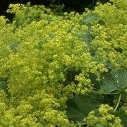 Alchemilla mollis. Suitable for Living Wall Shade Plant. Click image to get care advice.     Other names: Lady's mantle    Genus: Alchemilla    Species: A. mollis - A. mollis is a perennial with scalloped, bright green foliage and a haze of tiny, light-green or yellow flowers in summer.