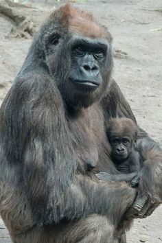 """In this photo taken on April 11, 2014, and provided by the Wildlife Conservation Society , on April 24, 2014, """"Tutti"""", a female Western Lowland gorilla holds her baby at the Bronx Zoo Congo Gorilla Forest in New York. With the addition of two new baby gorillas recently born at the zoo, the Bronx Zoo's Congo Gorilla Forest is now home to 20 gorillas. (Photo by Julie Larsen Maher/AP Photo/WCS)"""