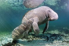 The beautiful endangered manatee is threatened by boat propeller blades and cold weather. They attract hoards of visitors at the Blue Springs warming area during cold weather. Peaceful and grandiose they are really a picture of love and grace.