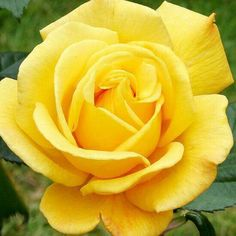 Yellow Roses hold a special meaning to me; we buried Daddy with a bunch of these and every time now I see one I think of him. <3 RIP Daddy May 6, 1947 - May 16, 2007 <3