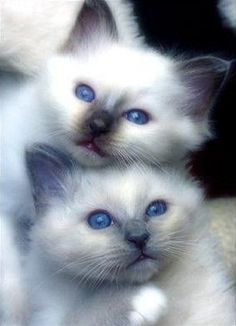 fluffy bay siamese kittens | Two cute Fluffy Kittens | Soo cute! | Pinterest