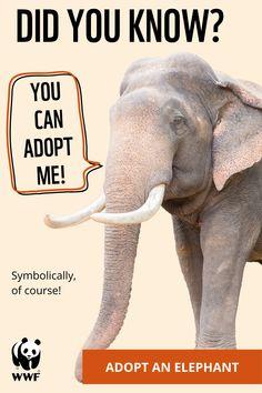 Baby Elephant Walk, Adopt An Elephant, Elephant Love, Funny Animal Jokes, Cute Funny Animals, Cute Baby Animals, Cute Dogs, Save Animals, Animals And Pets