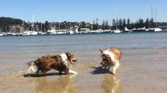 Would you jump at the chance to extend the life of your beloved dog? To discover how, go to http://lovedogs.from.media/go  Shetland sheepdogs swimming - Cooper and Tara