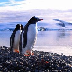 Gentoo Penguins captured bu @flockofpenguins Discovering the wonders of the Antarctica Peninsula. http://ift.tt/2hL2hjs