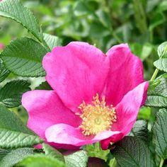Bare Root Wild Rose (2-3ft)
