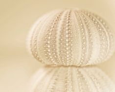 Nautical Photography Sea Urchin No 02 beach cottage by AmandaRaeK