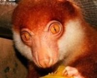 Save the Black-spotted cuscus almost extinct - The Petition Site #Australia #SpottedCuscus Australian Discount Club support Spotted Cuscus http://www.kangadiscounts.com