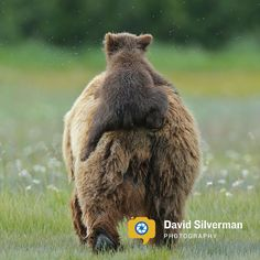 Grizzly bear cub - Alaska - HalloBay