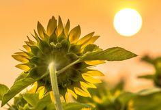Sun & Flower by Robert Lachaine on 500px
