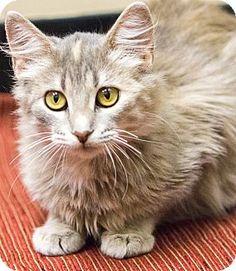Chicago, IL - Domestic Longhair. Meet Elsa, a cat for adoption. http://www.adoptapet.com/pet/11684532-chicago-illinois-cat