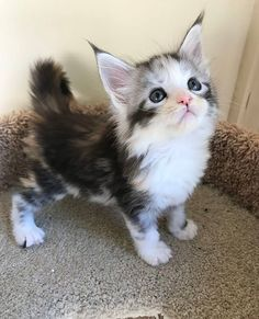 Maine Coon Kitten. #cats #cattoys #catowners