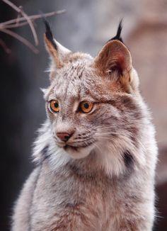 Lynx face predator by Alain Ranger on 500px