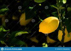 Photo about A lemon hanging from my garden`s lemon tree. Image of juice, garden, lemontree - 134846418