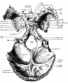 Superior aspect of the Sphenoid and occipital bones