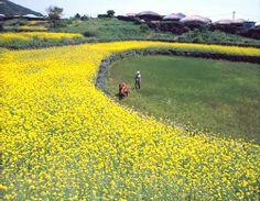 Rapeseed flowers of Jeju Island