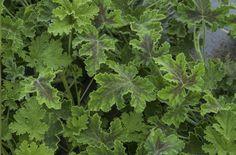 Chocolate Mint Scented Geranium Pelargonium | Bowery Beach Farm