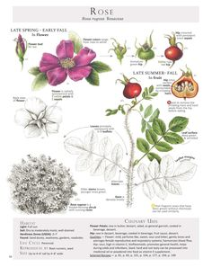 Roses for health benefits