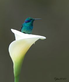 hummingbird sitting in a lily ❦