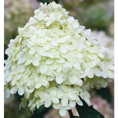 Buy Hydrangea paniculata 'Limelight' from Sarah Raven: Hydrangea paniculata 'Limelight' is my all round favourite hydrangea, which opens the cleanest, brightest, acid-green. Then the flowers fully flatten and turn pure ivory, before being washed with rich pink.