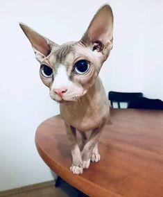 #Cat #Kitty #Sphynx #SphynxCat