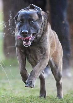 Congressional Medal of Honor Brutus, a canine Medal of Honor recipient.Brutus, a canine Medal of Honor recipient. Military Working Dogs, Military Dogs, Police Dogs, Military Month, Police Humor, Military Service, Berger Malinois, Belgian Malinois Dog, Belgium Malinois