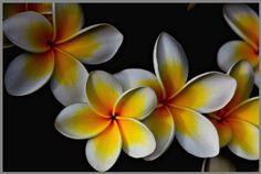 Plumeria Family - ID: 4226133 © VISHVAJIT  JUIKAR