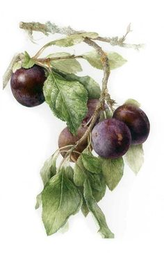 Botanical Illustration of Plums by Elaine Searle