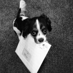 Got your mail!! Do I get a treat now? cavalier King Charles spaniel