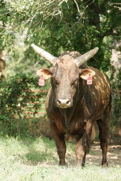 790 Mossy Oak Mudslinger * 2006 PBR Bucking Bull of the Year