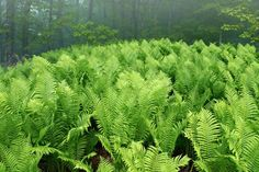 Ferns at Miner's Castle   This image was captured on a summer morning at Pictured Rocks National Lakeshore in Michigan's Upper Peninsula.