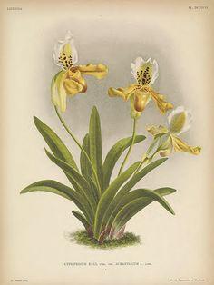 Paphiopedilum exul [as Cypripedium exul var. aurantiacum] Lindenia- iconography of orchids vol. 16 (1901)