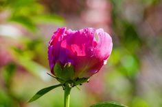 Розовый пион. Усадьба Грибаново. Россия. фото: Ирина Майсова #flowers #wildflowers  #bouquetflowers #nature #ecology #peony