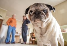 Up close and personal pug