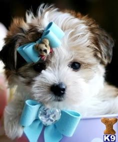 morkies and Maltese Puppies - Super Tcups